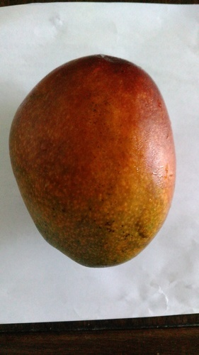 屋宜原のマンゴー.JPG