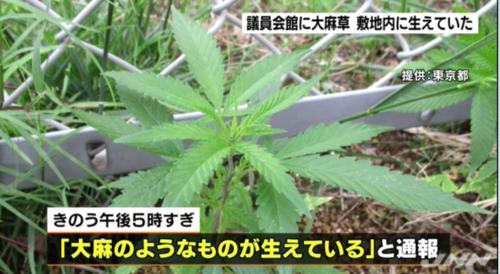 議員会館に大麻草.PNG